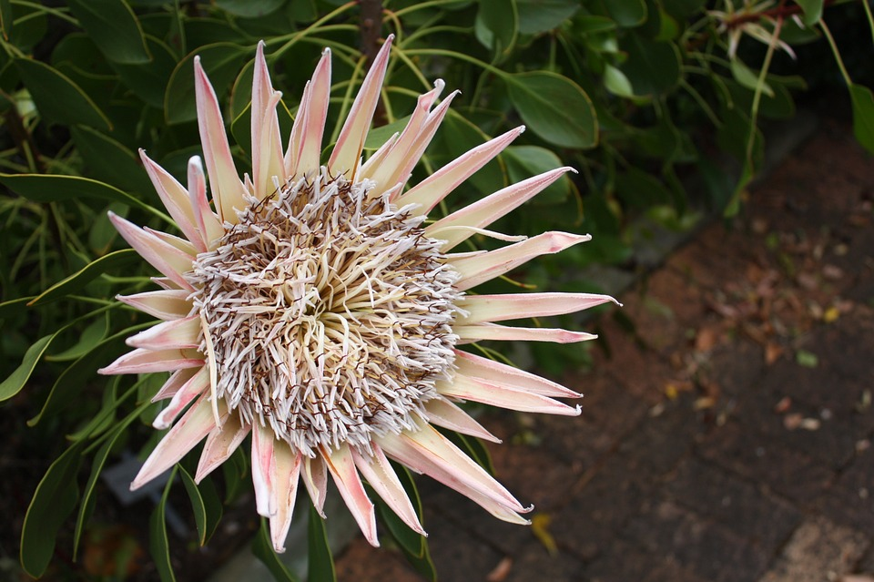 King protea, South Africa, accessible travelling, travel with a wheelchair, electric wheelchair, RSA
